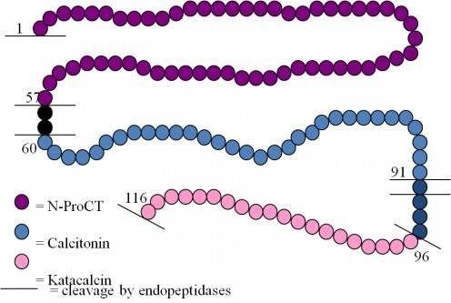 PCT的氨基酸序列